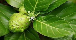 manfaat khasiat daun mengkudu