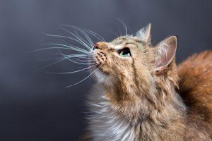 kumis kucing